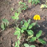 Small yellow flowers on dirt